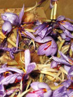 Saffron crocus flowers.