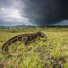 Photograph by @stefanounterthiner.  Storm clouds darken the Rinca sky during the wet season, from December to March. The months of rain are enough to sustain forests that provide a home to dragon prey. This elderly male Komodo dragon is probably growing too weak to hunt.  Photograph from my @natgeo magazine story 'Once Upon a Dragon'. Follow me @stefanounterthiner to see more images from my personal projects and my work with @natgeo. Thank you!  #dragon #assignment #home #sky #cloud #storm
