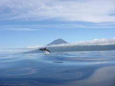 Whale and Dolphin Watching near Pico island.