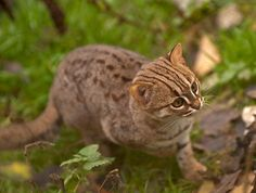 Rusty-spotted cats (Prionailurus rubiginosus)  Invisible! This is the world's smallest cat and only 10 photos have been taken of it in the wild!    They can be found in only 7 zoological parks in the world and the Parc des Félins is amongst those who breed them on a regular basis. The rusty-spotted cat rivals the black-footed cat as the world's smallest wild cat. It weighs only 0.9 to 1.6 kg. The short fur is grey over most of the body, with rusty spots over the back and flanks.