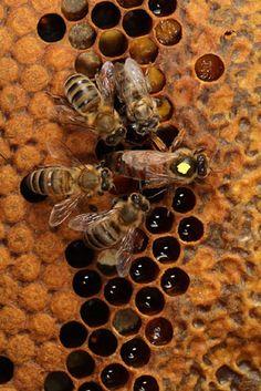 #BEE'S: #Queen Bee: #bee #honey #beekeeping (Dunway Enterprises)…