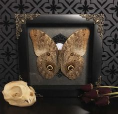 Handcrafted, Victorian style taxidermy shadow box.   In a 6 x 6 black shadow box adorned with brass filigree feat. An Owl Butterfly (Caligo Teucer) displayed in an ornate resin frame on a beautiful Victorian floral damask background.   **** does not include prop flowers or domestic cat skull. ****  Each piece is made with love & care to best showcase each individual specimen. All of our specimens are ethically sourced and have died of natural causes.   YOU ARE RESPONSIBLE FOR KNOWING YOU...