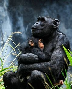 Chimpanzee. #love #endangered #animals