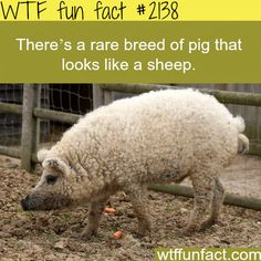 Rare breed of pig that look like sheep -WTF fun facts