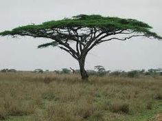 Trees of Africa, A guide to the Acacia tortilis, common name of Umbrella Thorn Acacia or Haak-en-steek in Afrikaans Savanna Tree, African Tree, African Plants, Umbrella Tree, Growing Seeds, African Elephant, Pink Elephant, Photo Tree, Nature