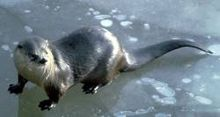 North American river otter - Wikipedia, the free encyclopedia (saw this behind Gourmet Donuts in NH on our trip north today)