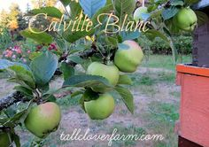 Tall Clover Farm in the Pacific Northwest reports on these great apples for the home orchard.