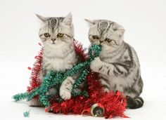 Christmas Kitten, Pets, Holiday, Animals, Vacations, Animales, Animaux, Holidays, Animal