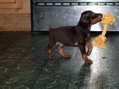 The many things we all adore about the Loyal Doberman Pinschers Pup Doberman Mix, Doberman Pinscher Puppy, Pincher Dog, Doberman Training, Dog Day Afternoon, Baby Puppies, Corgi Puppies, Black Lab Puppies, Dog Love