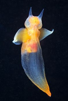 Naked Sea Butterfly