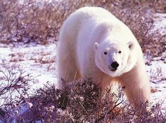 Lone Polar Bear on the Snow Covered Tundra-Photo 32 - http://1sun4all.com/clean-energy-infographics/lone-polar-bear-on-the-snow-covered-tundra-photo-32/