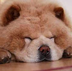 Sleeping chubby Chow Chow (at first I thought this was a bear cub. Lol)