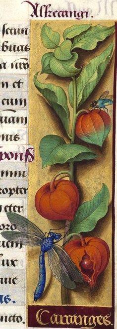 """Carainges - Alkecangi (Physalis alkekengi L. = coqueret -- Le mot """"carainges"""" est très probablement une erreur du copiste, au lieu de """"cacainges"""") -- Grandes Heures d'Anne de Bretagne, BNF, Ms Latin 9474, 1503-1508, f°108r"""