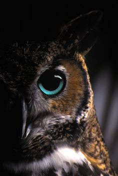 I love reaching out into that absolute silence, when you can hear the owl or the wind. An owl's eye. beauty-belleza-beaute-schoenheit: From. Beautiful Owl, Animals Beautiful, Cute Animals, Owl Bird, Pet Birds, Regard Animal, Owl Eyes, Owl Pictures, Tier Fotos