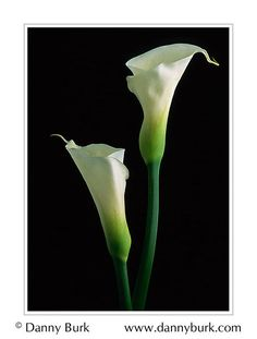 Calla lily - classic and beautiful