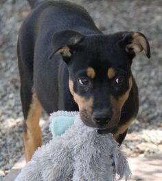 Drake (D3 Litter) is an adoptable Shepherd searching for a forever family near Dublin, CA. Use Petfinder to find adoptable pets in your area.