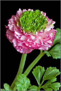 Ranunculus asiaticus hybrid - Blog Multiflora