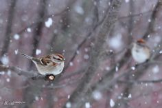 Tree Sparrow in Blizzard - Worth1000 Contests 6th place (out of 91 entries!) - Beginner: Narrow Depth of Field 2013 contest