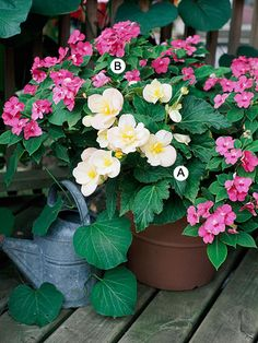 begonias and impatiens