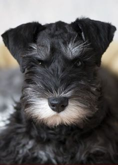How awesome are Miniature Schnauzers? We know, they are SO awesome.
