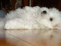 :) Maltese; has always been one of my favorite breeds!