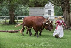 Oxen moving logs at Colonial Williamsburg. Photo by David M. Doody