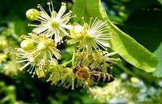 LJEKOVITO BILJE I ZDRAVLJE:  Lipa je veoma aromatična biljka. Koja pomaže kod raznih zdravstvenih problema. Lipa smanjuje nervozu ??? Saznajte koje sve bolesti liječi lipa na blogu ljekovitobiljezasvebolesti.blogspot.com