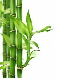 12 Idees De Lucky Bambou Bambou En Pot Bambou Planter Bambou