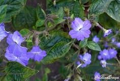 A Brovália pertence à família Solanaceae, nativa da América Central e América do Sul, perene, ramagem fina, delicada, de até 50 cm e muito ornamental.......