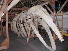 Built in Tacoma! || Gray whale skeleton to be unveiled at Highline Community College.  Pretty cool!