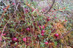 Jõhvikad / Cranberries / Oxycoccus palustris | www.minest.ee… | Flickr Cranberries