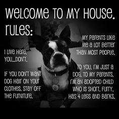House rules of George the 2 year old boston terrier