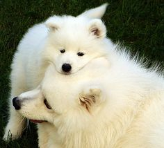 24 Samoyed Saturday Dog Samoyed Photos Who doesnt love cute fluffy dogs and are some of the cutest. Pets, Pet Dogs, Dog Cat, Doggies, Cat And Dog Photos, Dog Pictures, Beautiful Dogs, Animals Beautiful, Cute Puppies