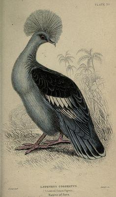 Crowned Pigeon, 1845