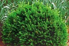 Northstar Boxwood:  24-32 inches tall and as wide, shiny dark green foliage, dense global form.