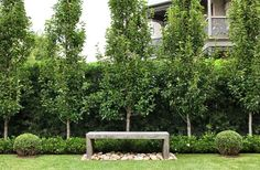 Pyrus ussuriensis with low Gardenia 'Florida' hedge. Custom Australian hardwood bench with nepean random pebbles, framed by Buxus balls. Hedges Landscaping, Garden Hedges, Backyard Landscaping, Landscaping Ideas, Natural Landscaping, Garden Grass, Florida Landscaping, Garden Pond, Garden Planters