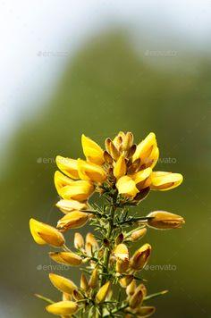 Calicotome spinosa, thorny broom or spiny broom