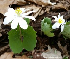 Bloodroot - Sanguinaria canadensis. Named for its orange-red juice, and flowers in early spring. It is part of the poppy family.