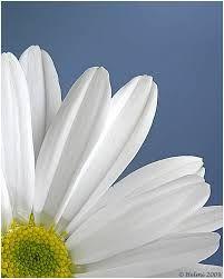 bloem margriet - Google zoeken