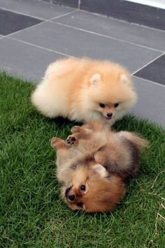 Awww these Pomeranians are sooooo cute. I want one!