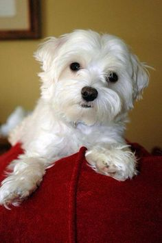 Cute puppy! #maltese #puppy