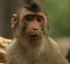 MACACO - Macaco cola de cerdo sureño- Schweinsaffe