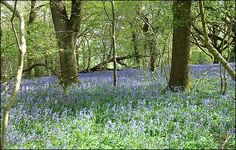 Bluebells, near Clanfield