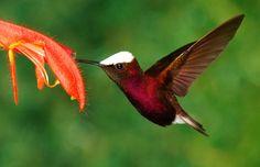 Snowcap Hummingbirds live in Central America. Photo by Zaki Masud
