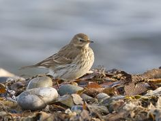 Water Pipit - S. Europe & S. temperate Asia, across to China