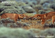 Google Image Result for http://cdn1.arkive.org/media/6B/6B782255-2ABB-4AA2-A7C3-3FD0D4B9D000/Presentation.Large/Ethiopian-wolf-pair-fighting-over-big-headed-mole-rat-prey.jpg