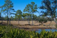 Longleaf Pine Restoration, Ocala National Forest