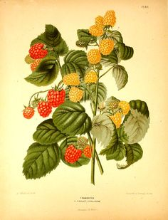 Red Raspberry - Rubus idaeus  The beautiful colour-plates were lithographed in Belgium by G. Severyns. They depict flowers and fruit then growing in The Netherlands. Publication started in 1875 on the initiative of the Pomological Society at Boskoop....