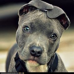 Pitbull.  Look at that face!