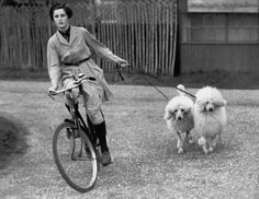 1938: A kennel-maid from Ifield Kennels takes to a bicycle to exercise two French Poodles.